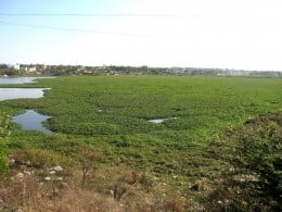 HOSUR'S - DARGAH LAKE near National Highway No.7 seen lake water filled with weeds left uncleared by the authorities.