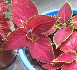 All varieties of coleus root easily from cuttings. Start them in water or in soil.