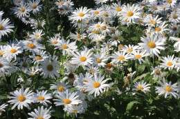 Daisies in a park in Funchal