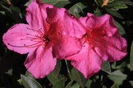 Azaleas are common shrubs