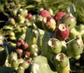 The many benefits of the Prickly Pear