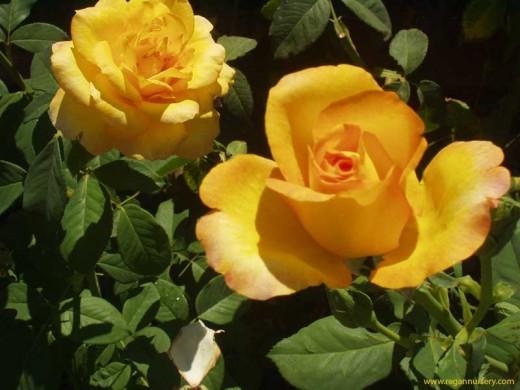 Cheerful yellow Rose