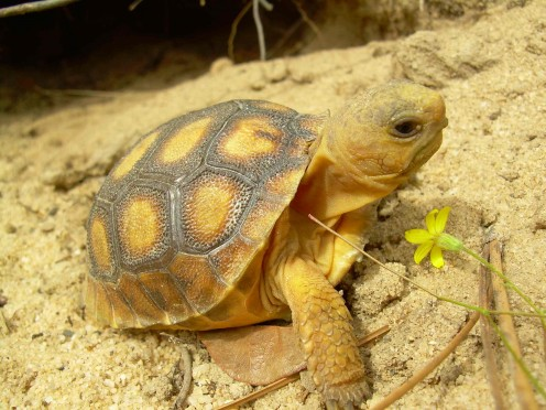 Young gopher tortoise keeping an eye out for predators
