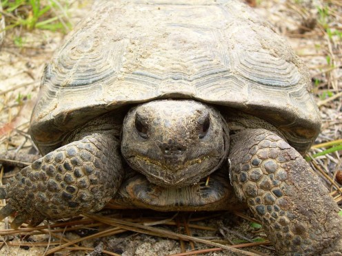 The rings on the gopher tortoise's plates may be counted like tree rings to discern the age of the creature.