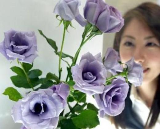 Blue Rose in Japan