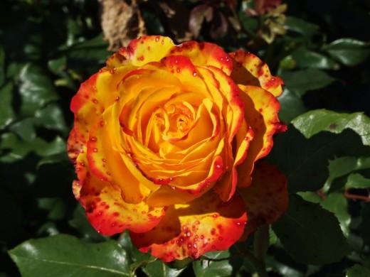 Shaded Orange Rose