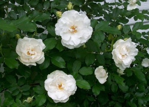 Bunch of White Rose