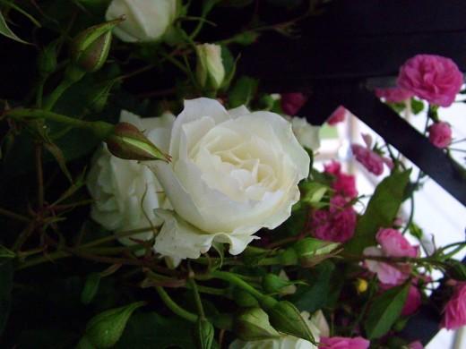 Elegent white rose