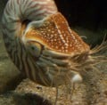 Chambered Nautilus, a living fossil