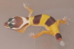 Treating a Leopard Gecko Dropped Tail