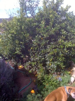 lime tree, with my dog in the corner