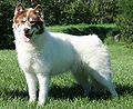 a Canadian Eskimo Dog