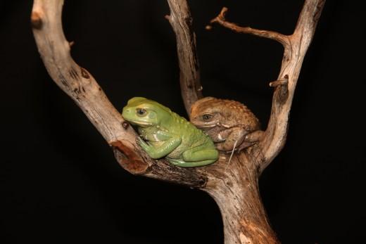 Waxy monkey tree frogs