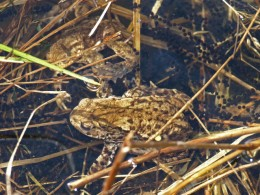 Toads spawning