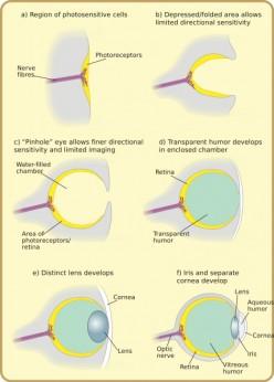 See: http://en.wikipedia.org/wiki/File:Diagram_of_eye_evolution.svg