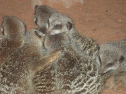 A new enclosure for the meerkats at Bristol Zoo which allows people to view these wonderful creatures up close