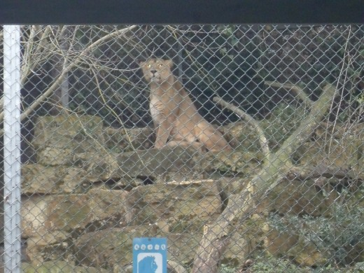 The proud lioness sits with one of her cubs at Bristol Zoo.  It is hard to see but she is sat besides one of her cubs