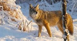 Grand Coyote