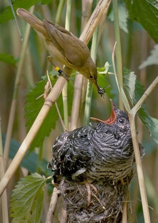 Feeding the Baby Cuckoo