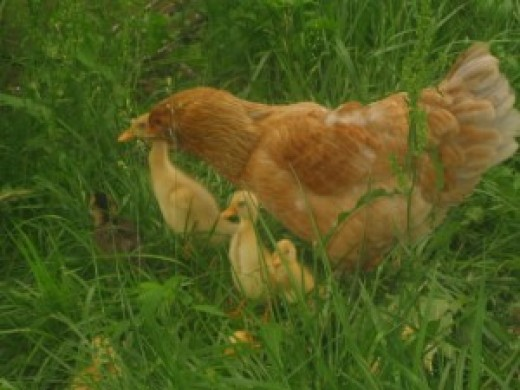 Hen on farm with ducklings