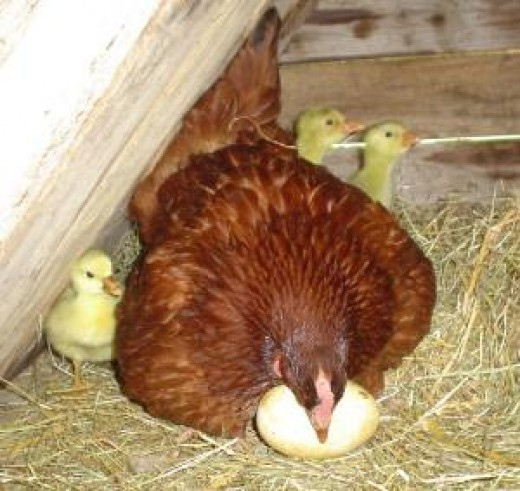 Hen hatching special eggs
