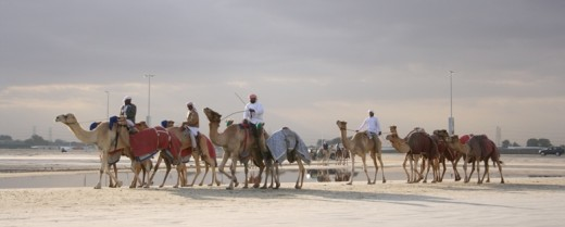 Camels training for the racing season.