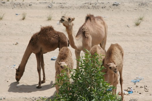 A lovely family of camels but unfortunately one is eating a plastic bag which could mean it is signing it's own death warrant.