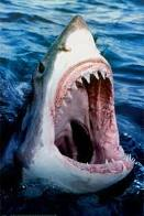 This photo of a Great White Shark, is strikingly similar in appearance to its larger cousin the giant Megalodon