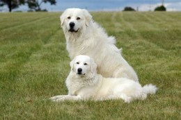 Maremma  -  Guardian dogs