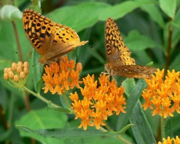 Butterflyweed, by Benimoto