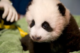 Three month old Giant Panda, Po, at Zoo Atlanta