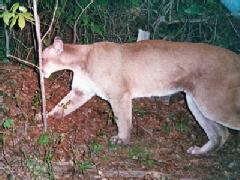 A MOUNTAIN LION CAUGHT ON CAMERA IN GREENE COUNTY