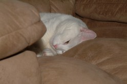Snuggled among the couch cushions Miss Kitty-- our pure white Manx, finds contentment.