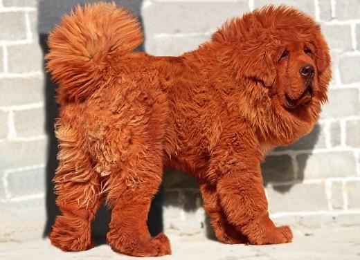 Tibetan Mastiff puppy sold for $1.5 million