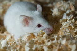 Albino Laboratory Wistar Rat Investment Opportunity