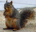 Is That A Red Squirrel Or A Gray Squirrel?