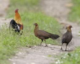 Gallus Gallus, wild chickens in India