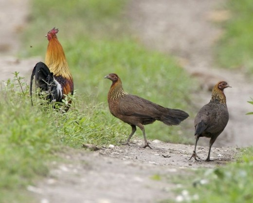 Gallus Gallus, wild chickens in India