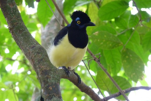 A Plush-Crested Jay, one of many birds we saw.
