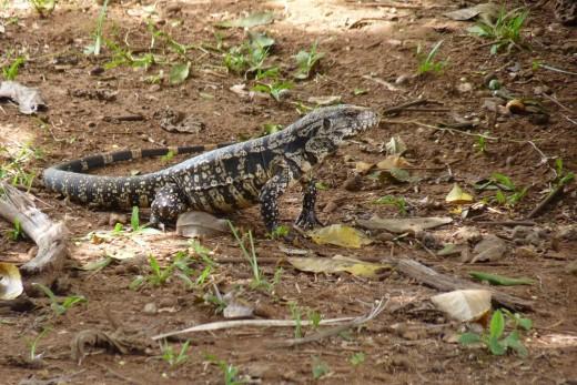An Iguana we saw