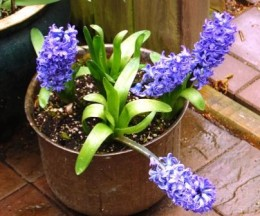 Blue Hyacinths in Pot