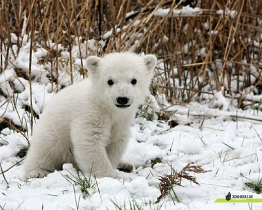 Little Knut