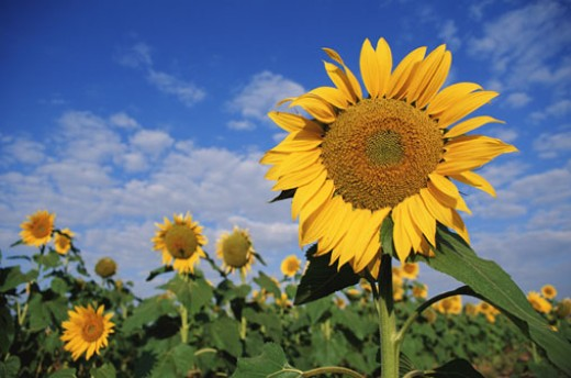 Sunflower seeds and oils provide large amounts of natural vitamin E.