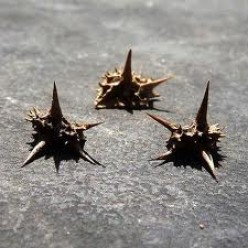 Goat Head Thorn