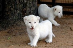 Beautiful White Lion Cubs: cute costly and controversial, pictures and facts