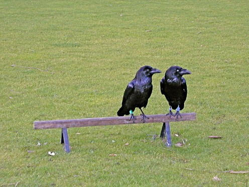 Ravens having a chat. The raven is the Trickster of many Native American legends and lesson stories. They may not be the only ones.