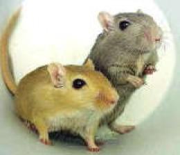 Cute gerbils