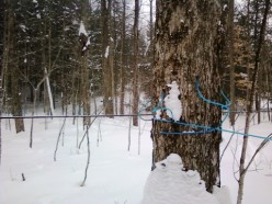 Maple syrup and maple sap line maintenance and up keep for the year