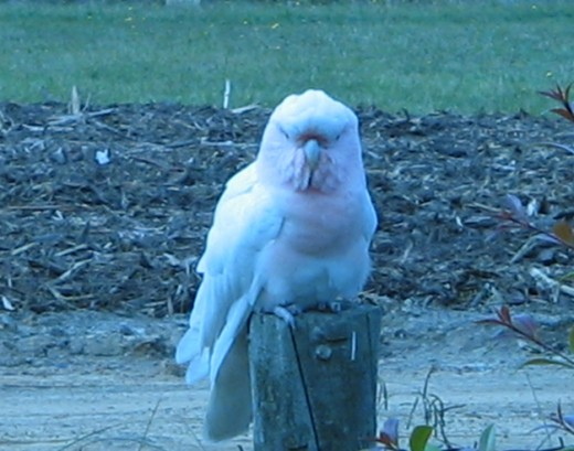 An example of a Major Mitchell Cockatoo