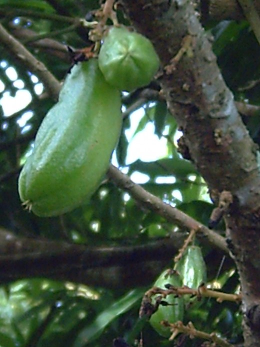 KAMIAS Tree and its fruit or known as GINGER LILY (Averrhoa Bilimbi) Photo by: Travel Man